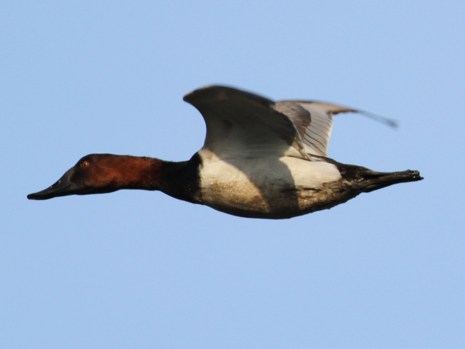 Canvasback  Types of Ducks amp Geese