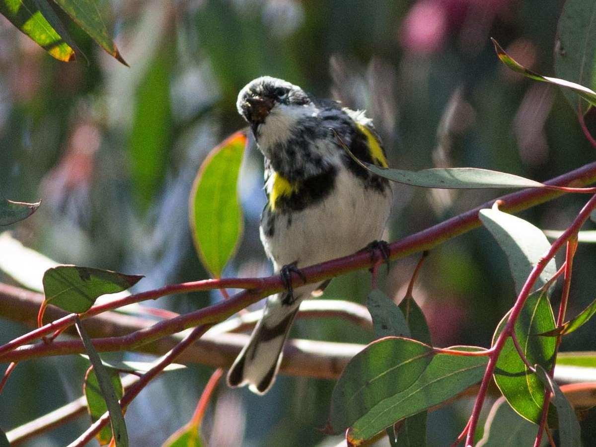 """Myrtle"" Yellow-rumped Warbler"