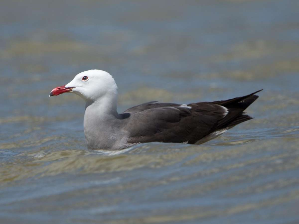 Heermann's Gull – Lake Henshaw, San Diego County, California 11 April 2014