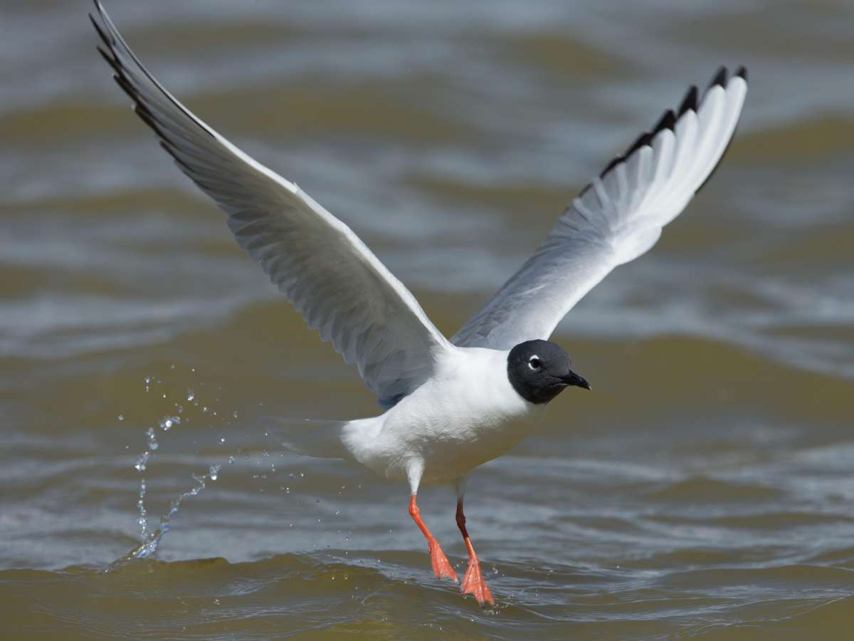 Bonaparte's Gull – Lake Henshaw, San Diego County, California 11 April 2014