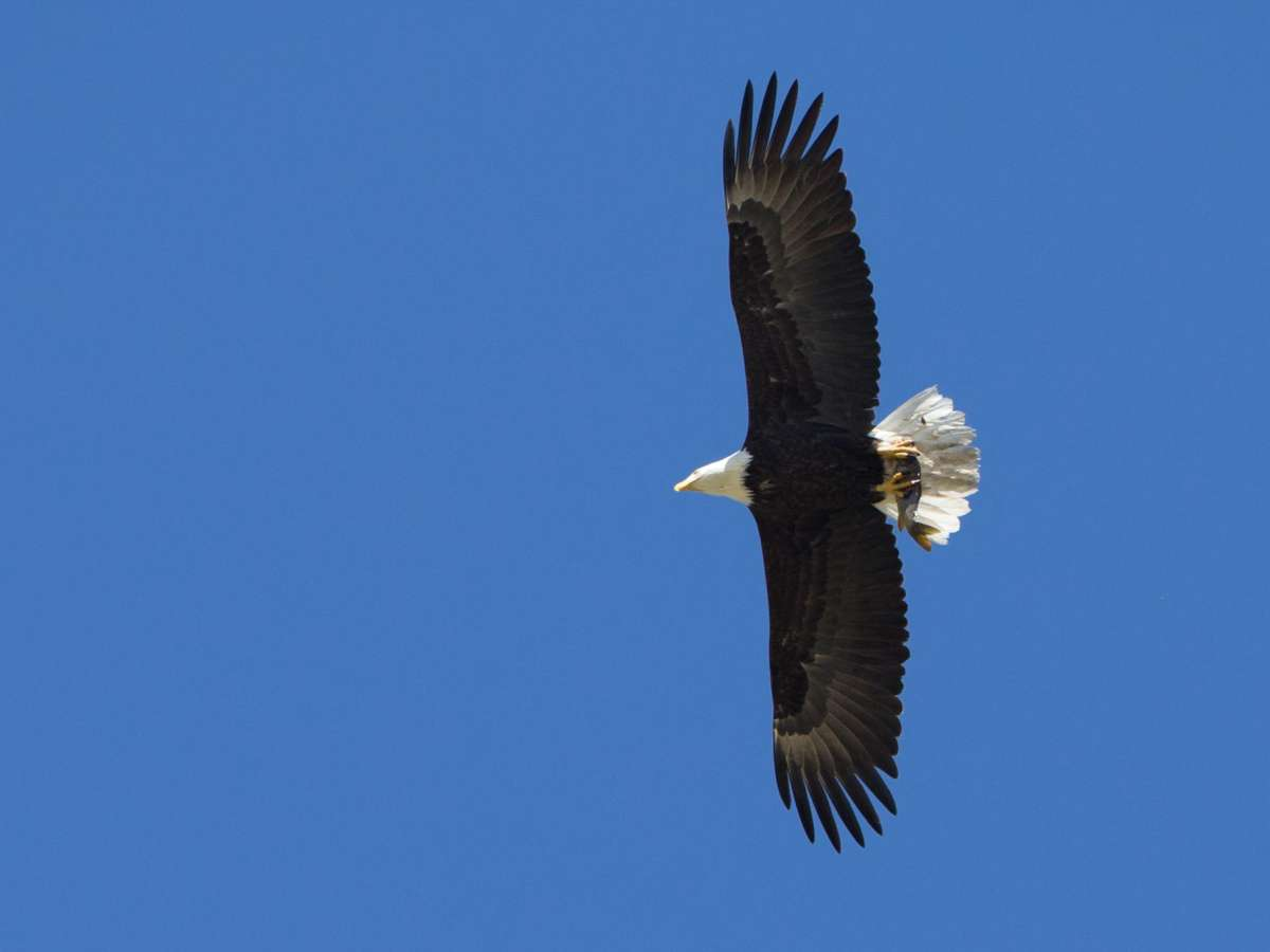 Bald Eagle adult – Lake Henshaw, San Diego County, California 11 April 2014