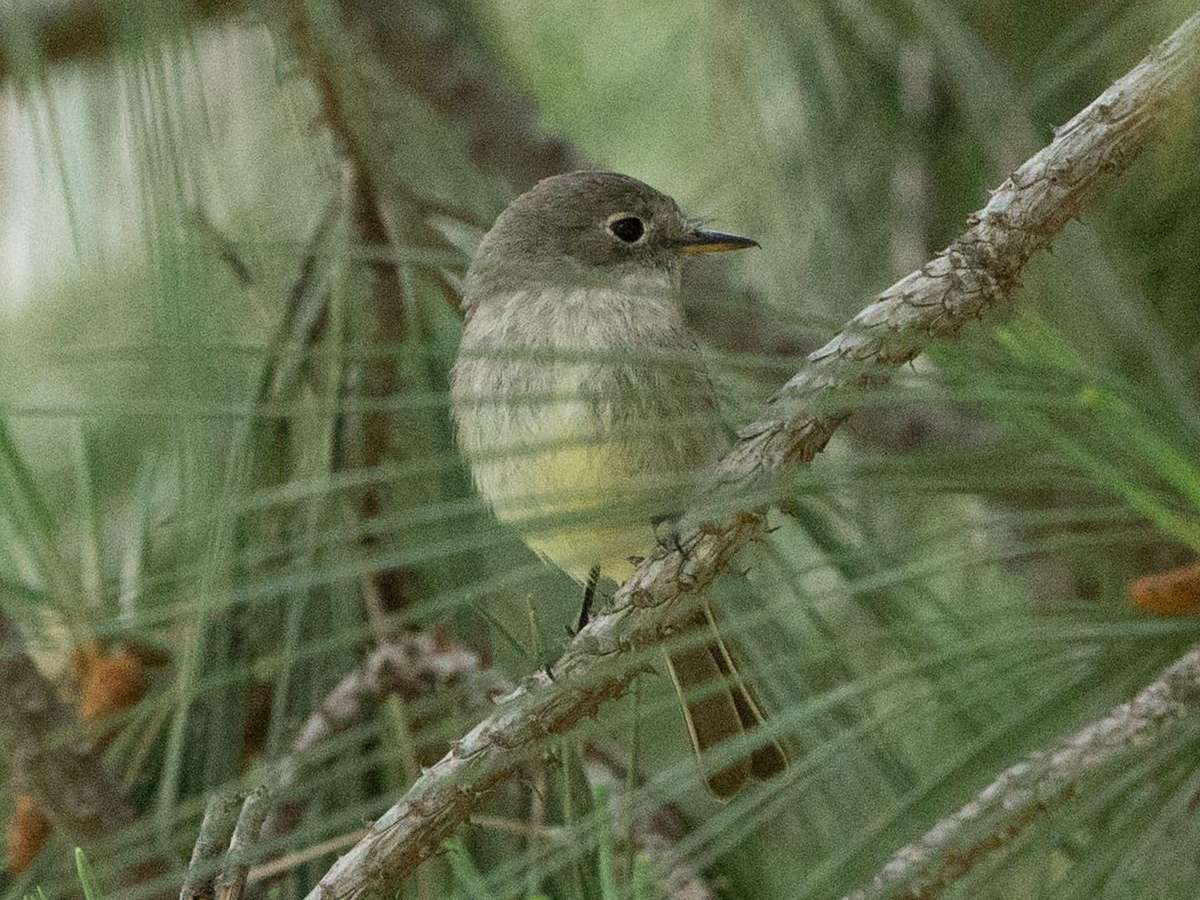 Gray Flycatcher - Crown Point, Pacific Beach, San Diego County, California 18 April 2014