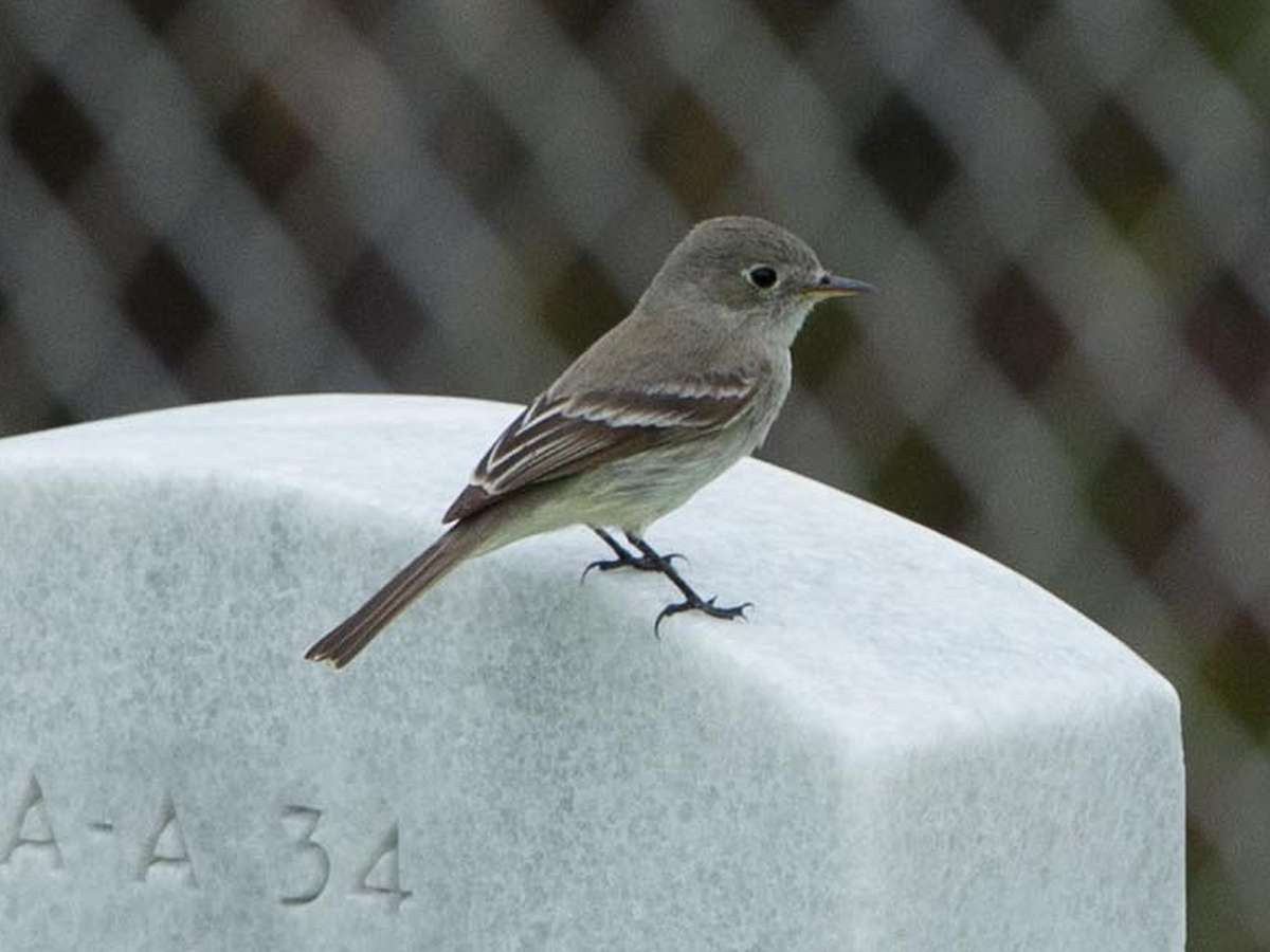 Gray Flycatcher - Fort Rosecrans National Cemetery, Point Loma, San Diego County, California 22 April 2014