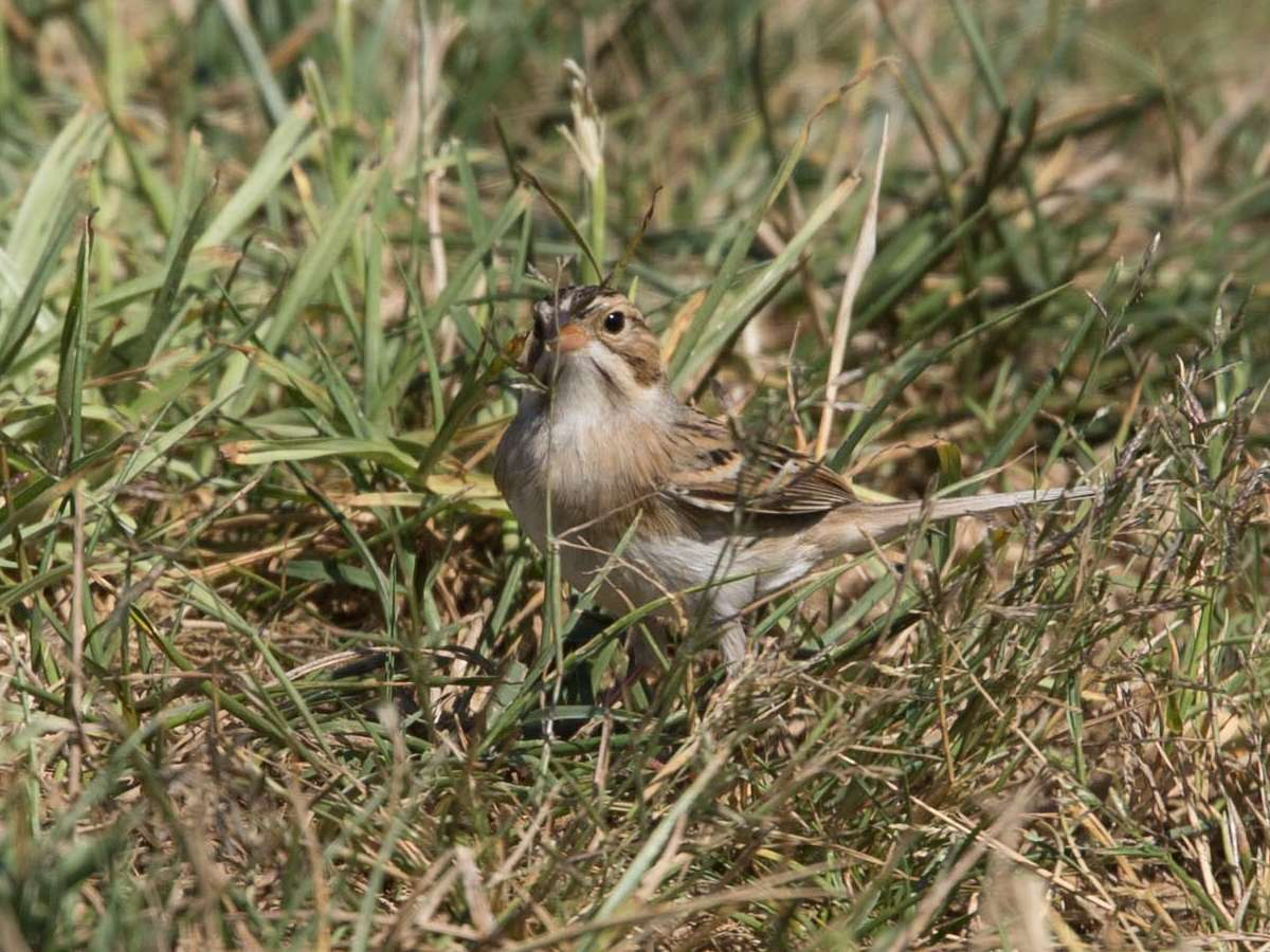 Chipping Sparrow | Aves de DC